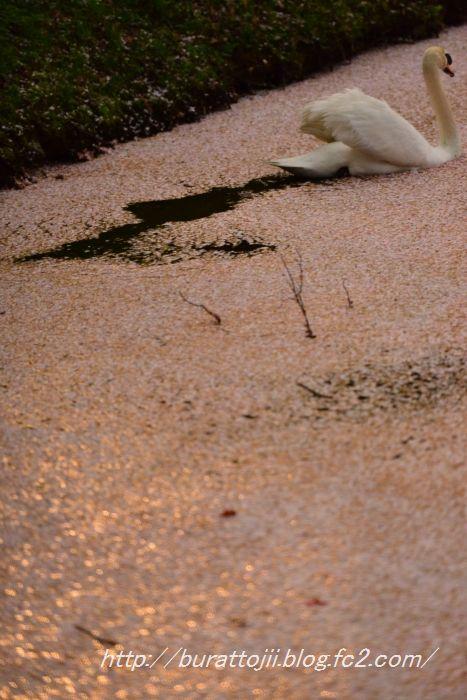 2014.04.17水面の花弁と遊ぶハクチョウ3
