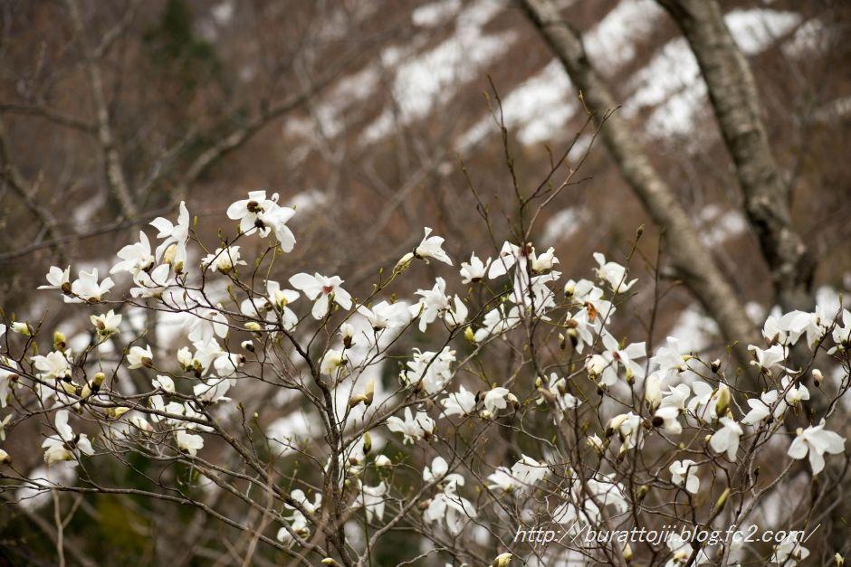 2014.04.28大嵐山ミズバショウ7