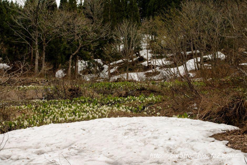 2014.04.28大嵐山ミズバショウ1