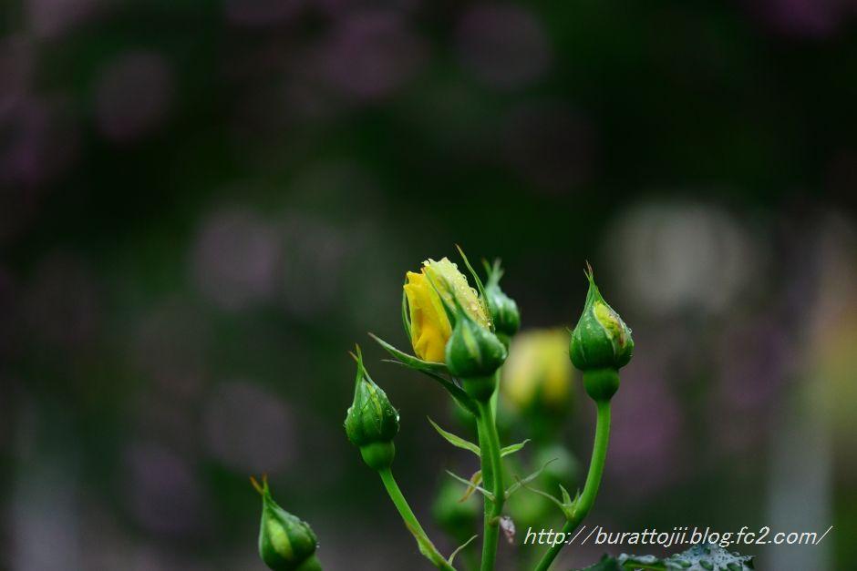 2014.05.17富樫のバラ5