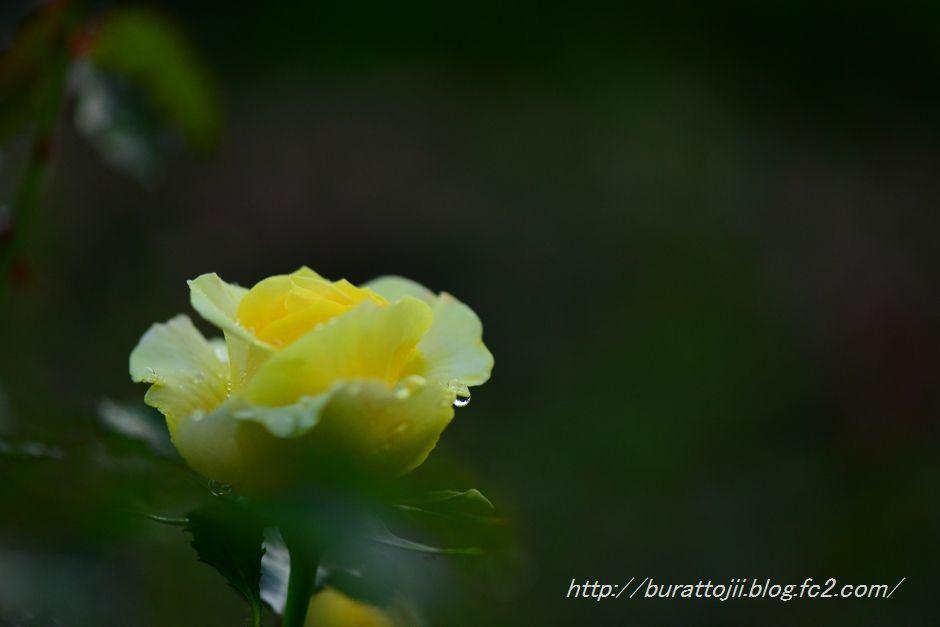 2014.05.17富樫のバラ3