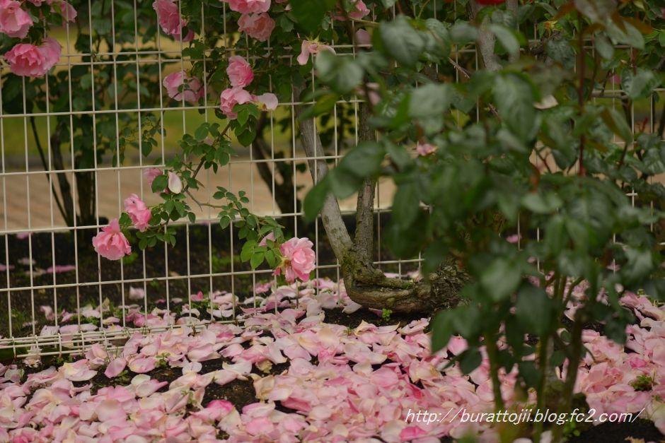 2014.05.22冨樫バラ園2
