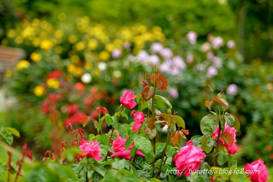 2014.05.23金沢姉妹都市公園のバラなど13