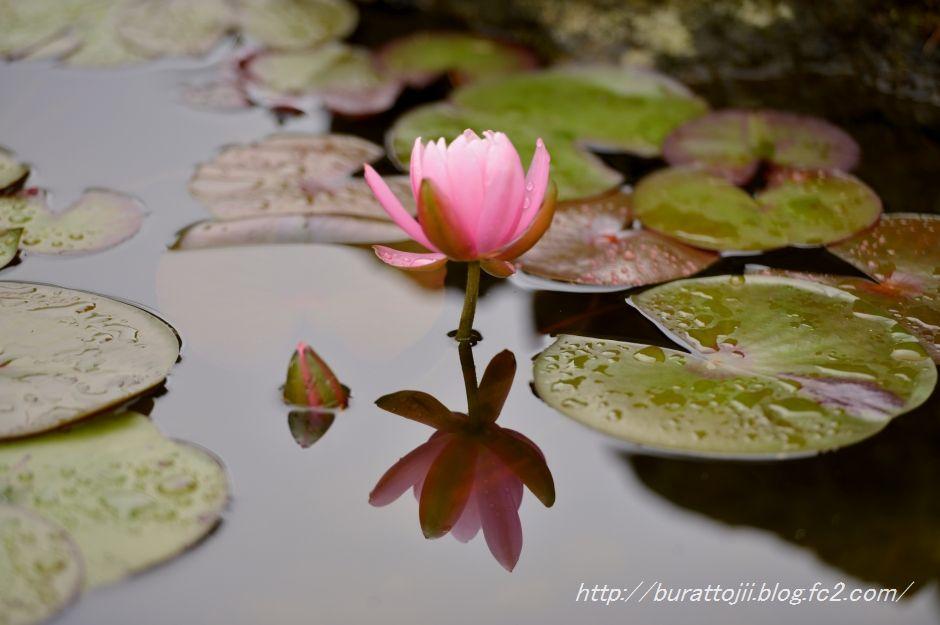 2014.05.23金沢姉妹都市公園のバラなど11