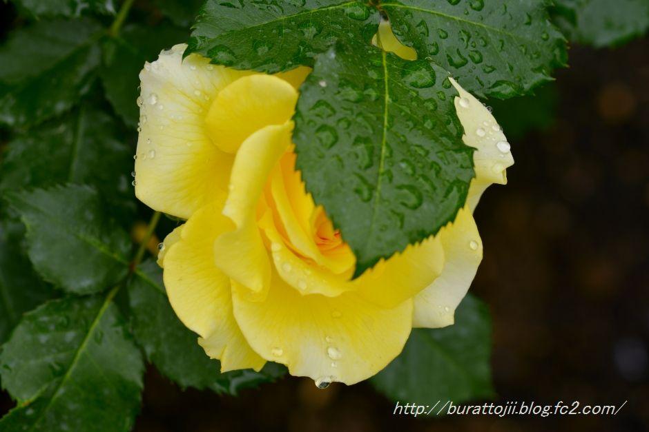 2014.05.23金沢姉妹都市公園のバラなど9
