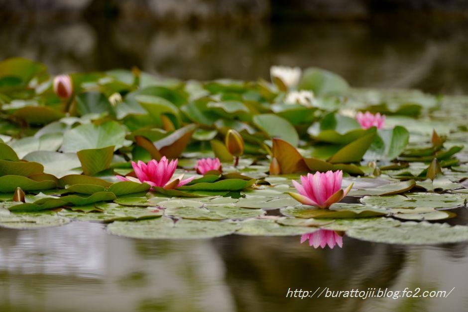 2014.05.23金沢姉妹都市公園のバラなど10