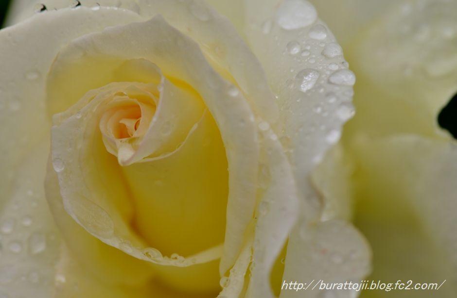 2014.05.23金沢姉妹都市公園のバラなど8