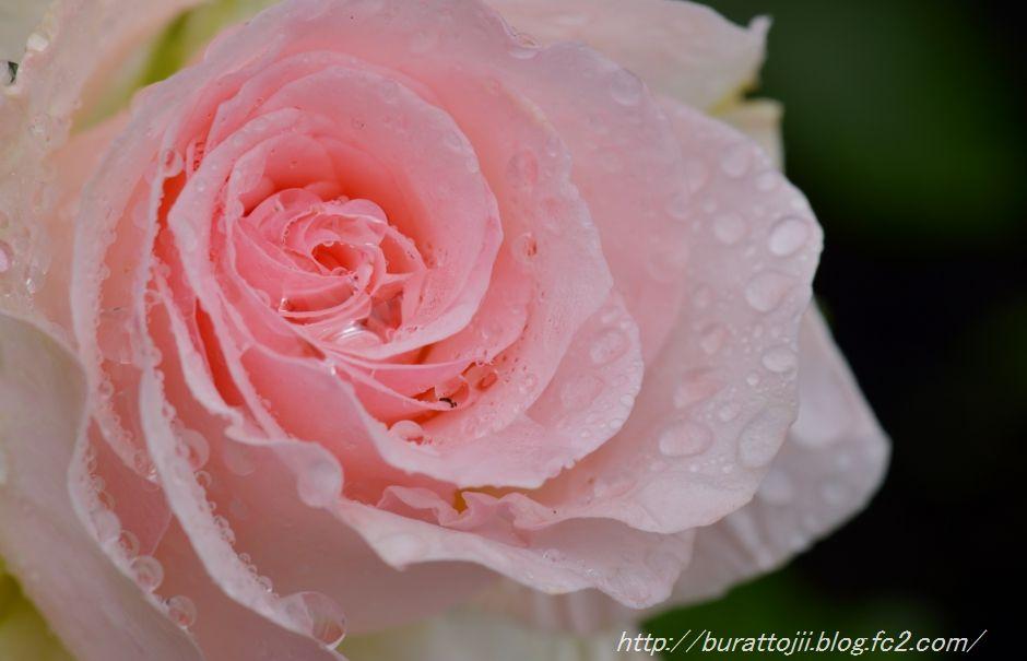 2014.05.23金沢姉妹都市公園のバラなど5
