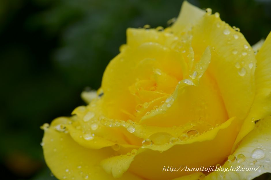 2014.05.23金沢姉妹都市公園のバラなど4