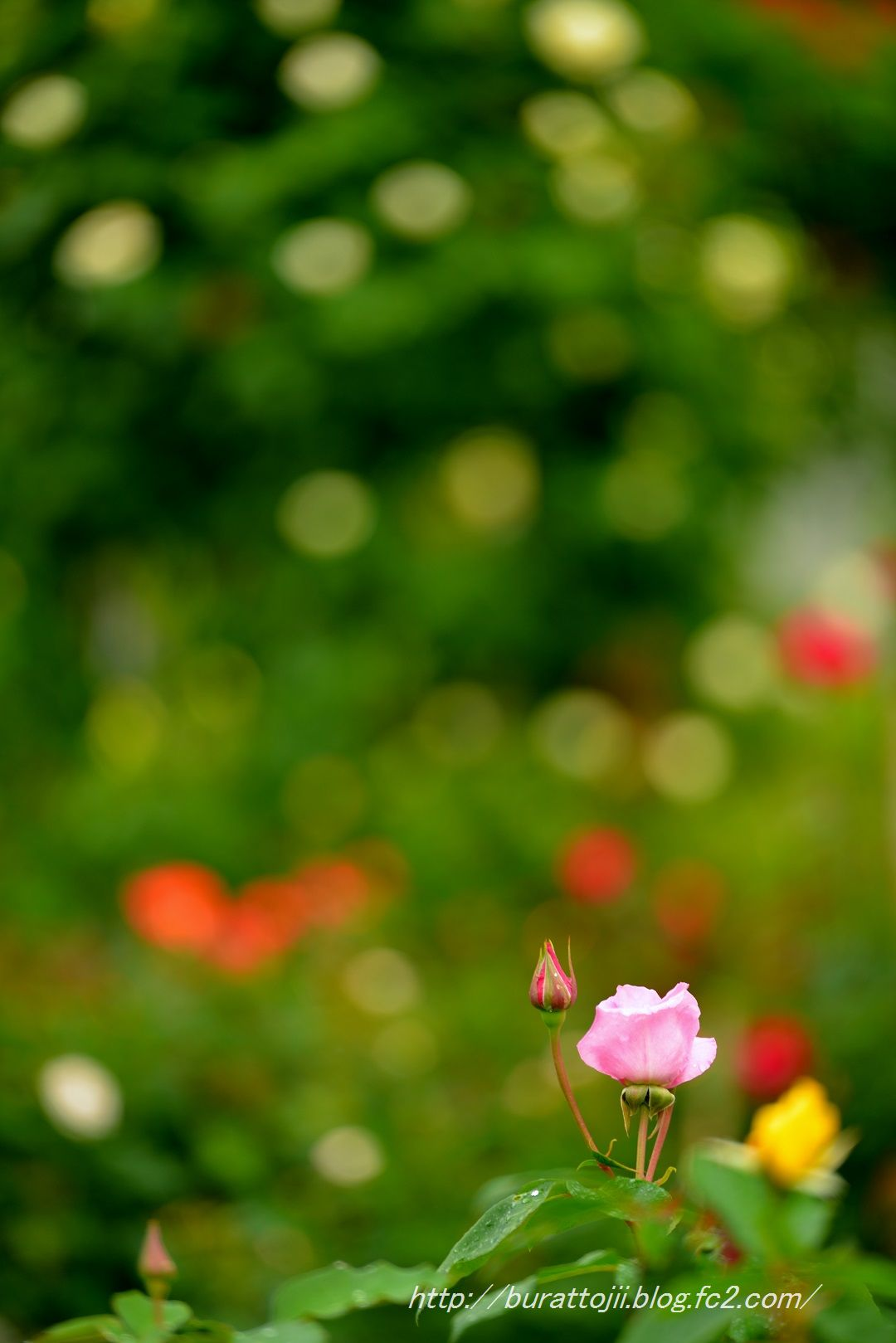 2014.05.23金沢姉妹都市公園のバラなど14