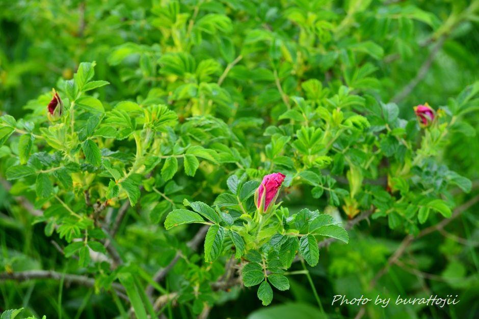 2014.06.15野付半島トドワラへの散策路7
