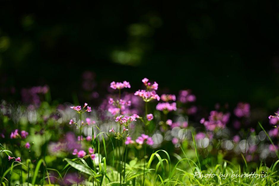 2014.06.24ノンノの森クリンソウ11