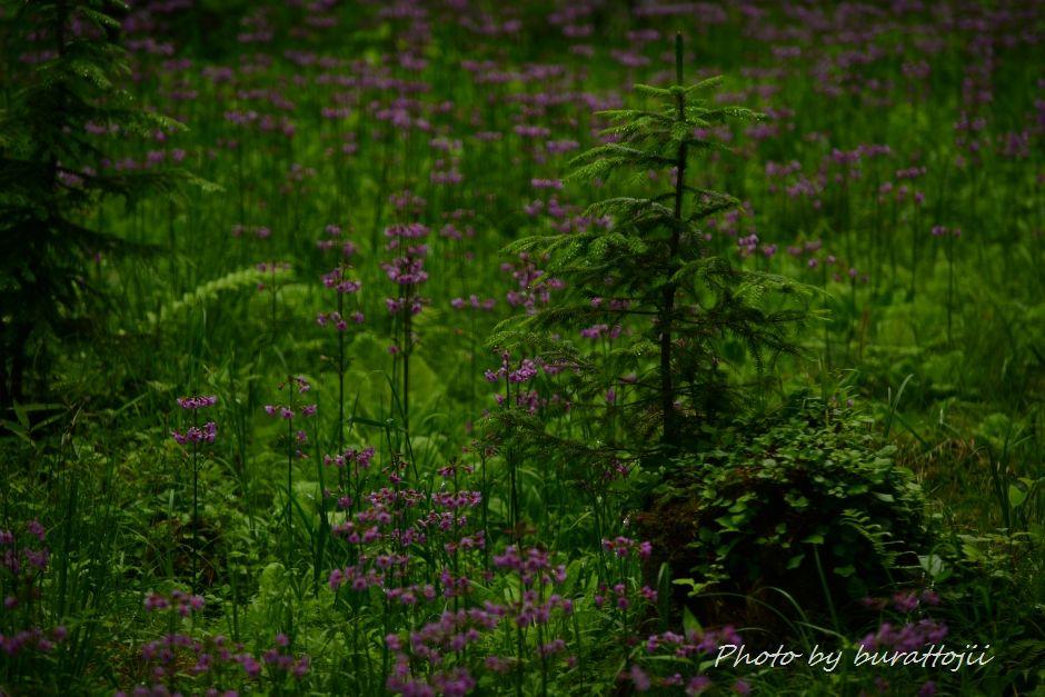 2014.06.23ノンノの森クリンソウ8
