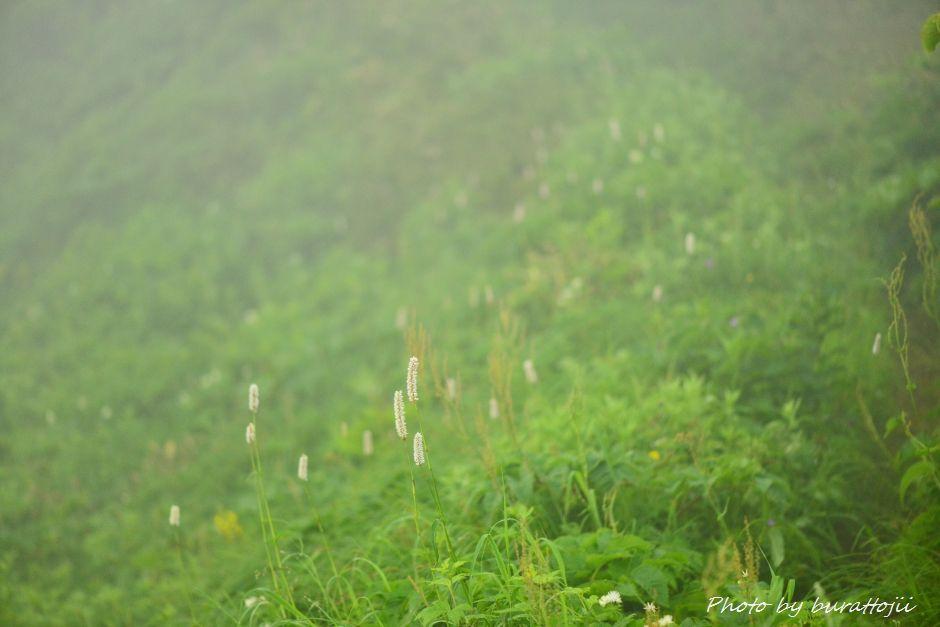 2014.07.22別山17イブキトラノオ