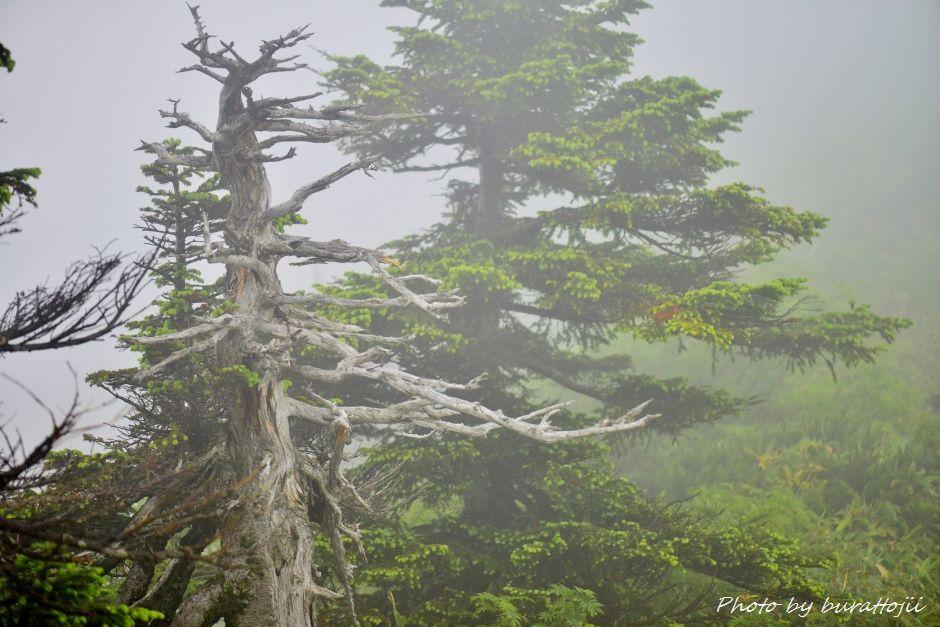 2014.07.22別山11立ち枯れの樹木