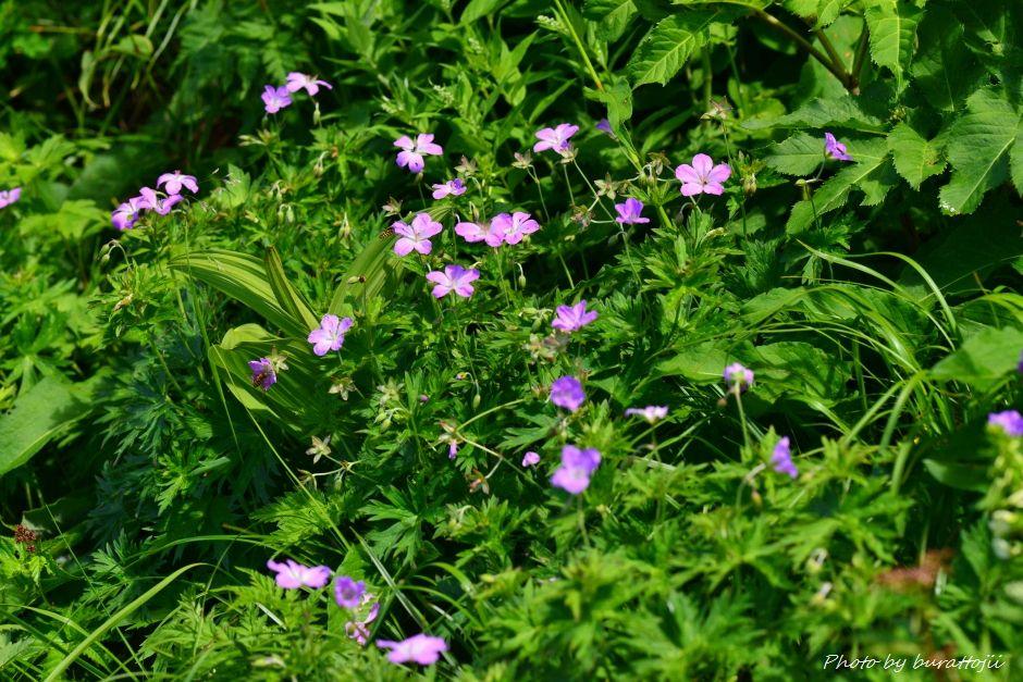 2014.07.29観光新道の花々17ハクサンフウロ