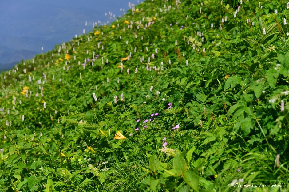 2014.07.29観光新道の花々15ニッコウキスゲ、イブキトラノオ、ハクサンフウロなど