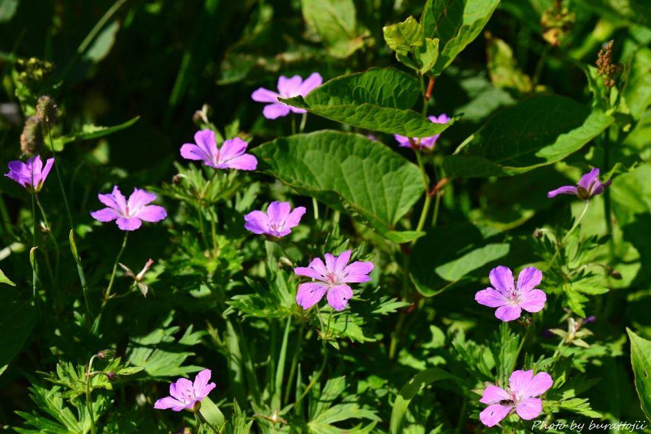2014.07.29観光新道の花々14ハクサンフウロ