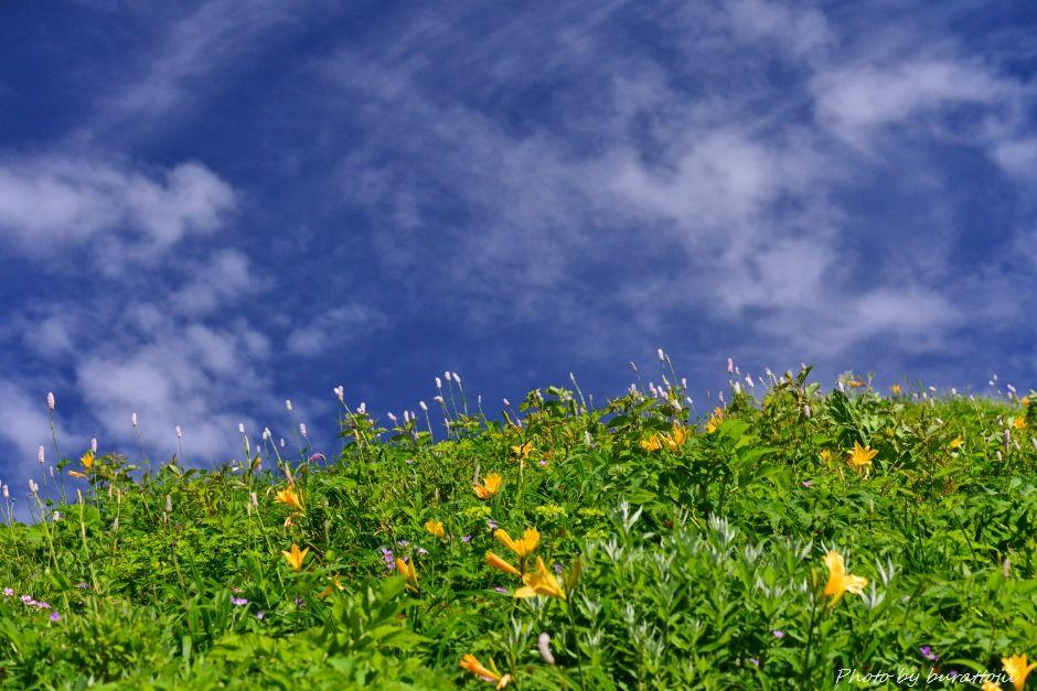2014.07.29観光新道の花々12ニッコウキスゲ、イブキトラノオ、ハクサンフウロなど