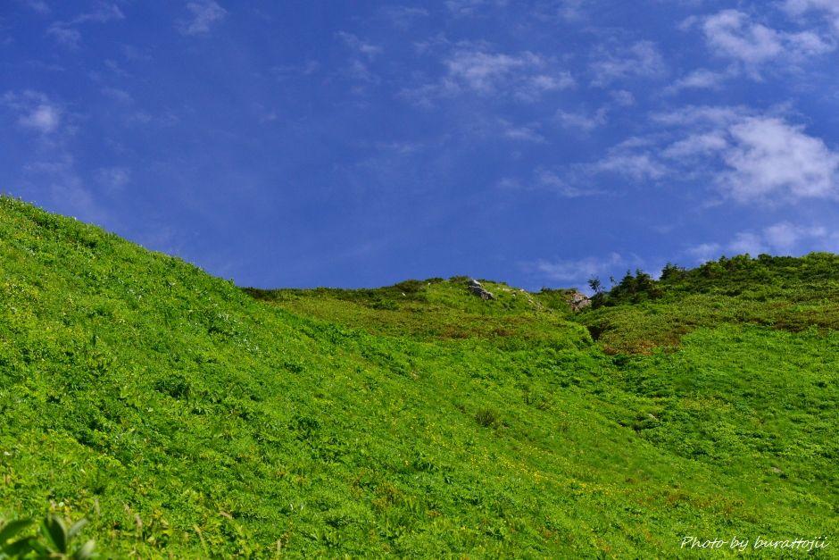 2014.07.29観光新道の花々13斜面一面ミヤマキンポウゲ