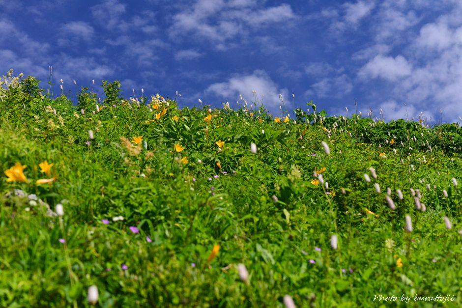 2014.07.29観光新道の花々11ニッコウキスゲ、イブキトラノオ、ハクサンフウロなど