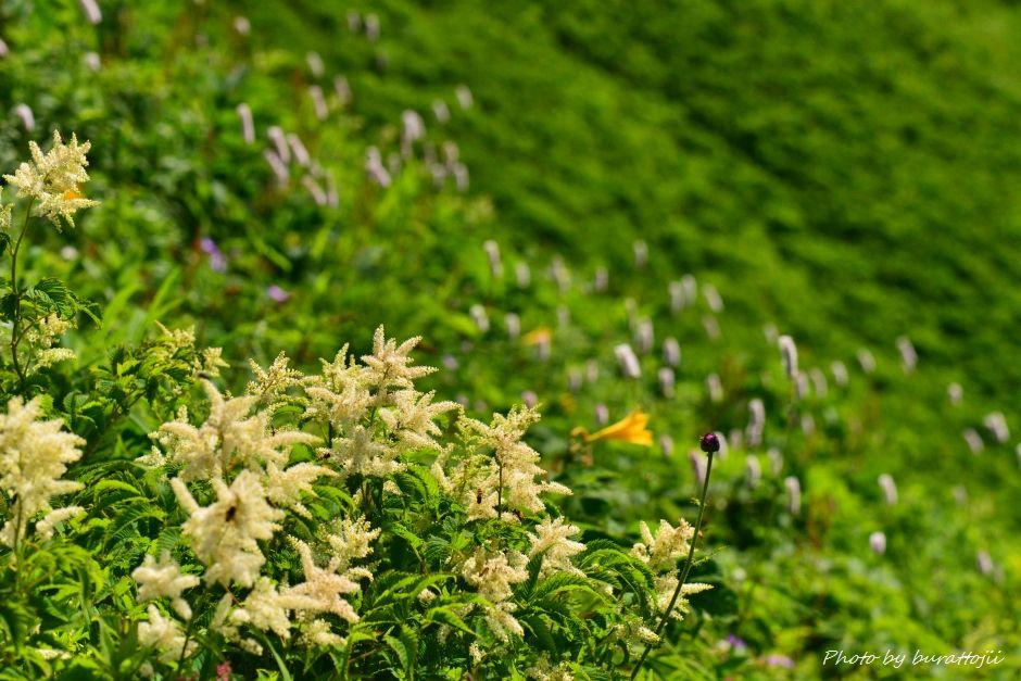 2014.07.29観光新道の花々7ハナチダケサシ