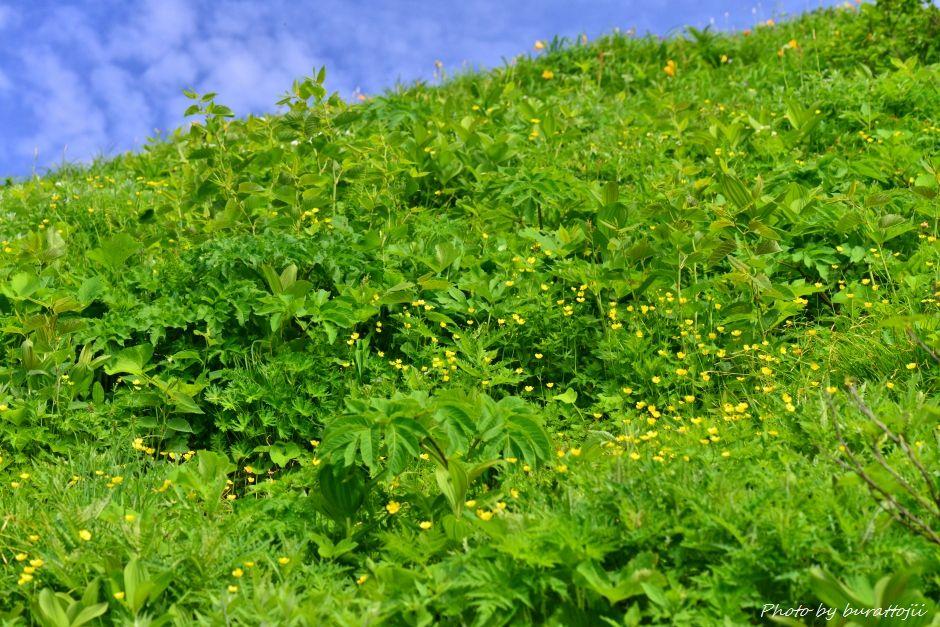 2014.07.29観光新道の花々5ミヤマキンポウゲ