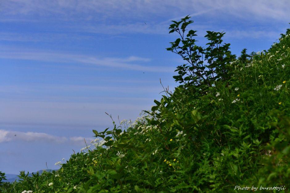 2014.07.29観光新道の花々3蛇塚2240m付近モミジカラマツ