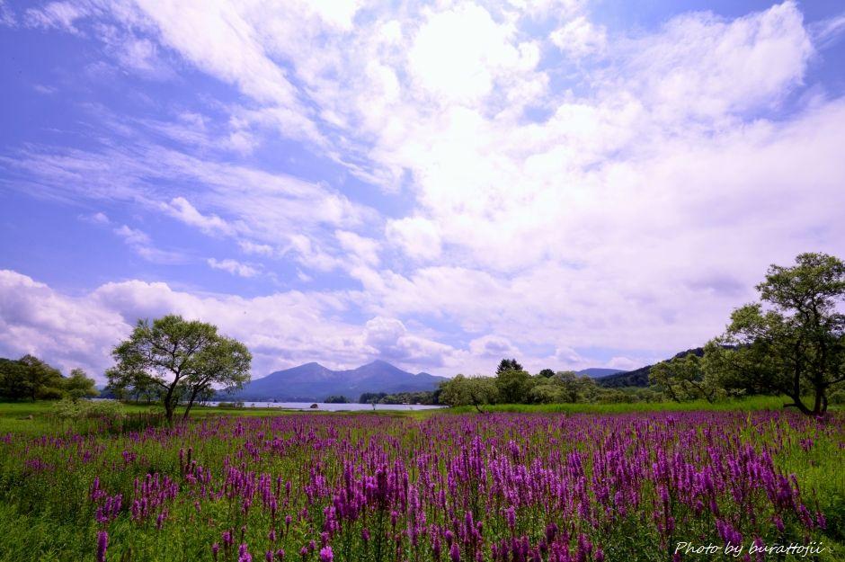 2014.08.21桧原湖のミソハギ1