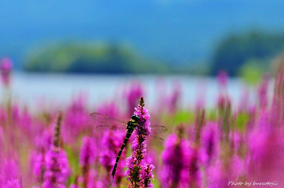 2014.08.21桧原湖のミソハギ3