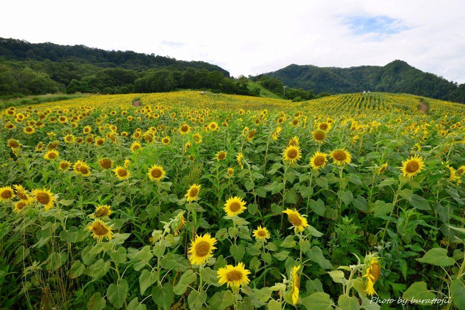 2014.08.21三ノ倉ひまわり畑1