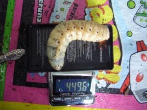 レイディ幼虫4