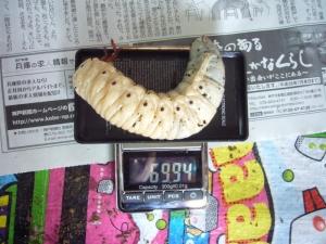 レイディ幼虫1