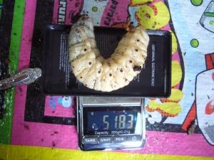 レイディ幼虫6