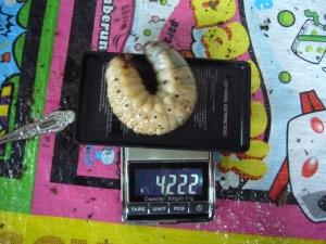 レイディ幼虫8