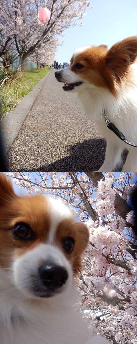 桜がきれいだぁ~