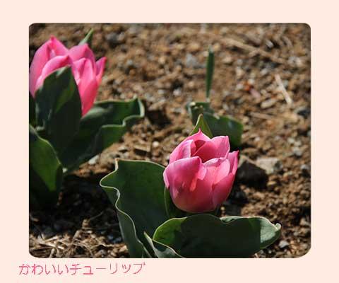 チューリップも咲いてるね