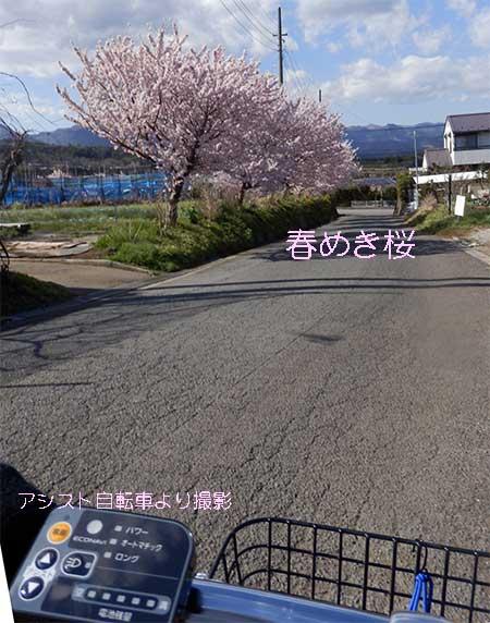 「春めき桜」誕生の地
