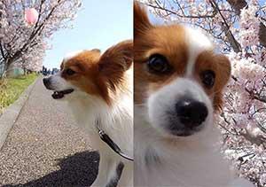3月23日に紹介した「春めき桜」