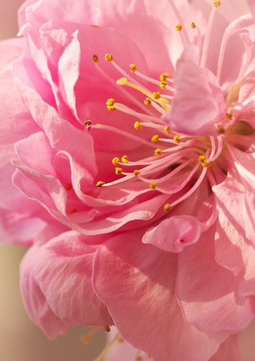 咲き分けの桃ピンク-1