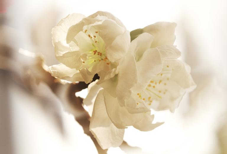 咲き分けの桃白