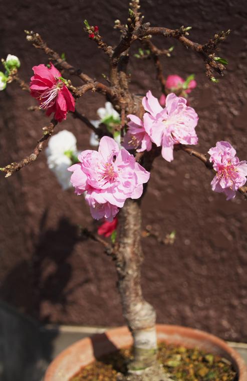 咲き分けの桃-5