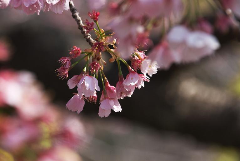 名残桜-1