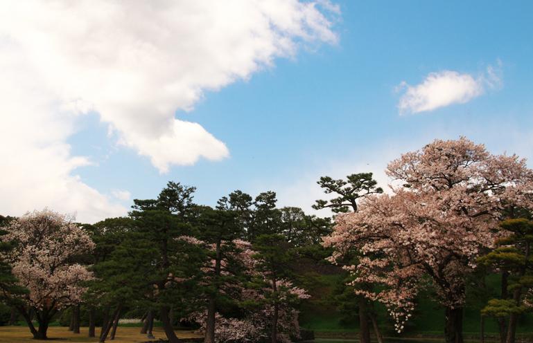 皇居の桜-351-1