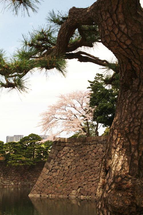 皇居の桜-359