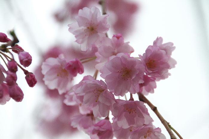 皇居の桜-442
