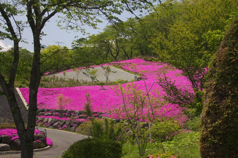 霊園の芝桜-898-1