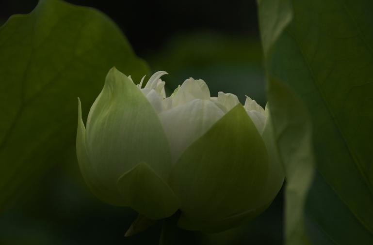 連興寺の蓮-483-2