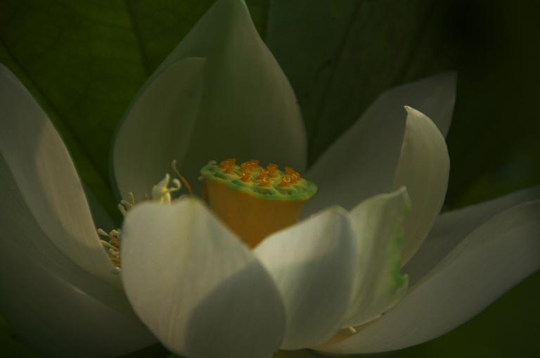連興寺の蓮-509