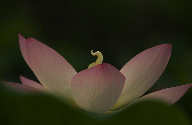 連興寺の蓮-494-1